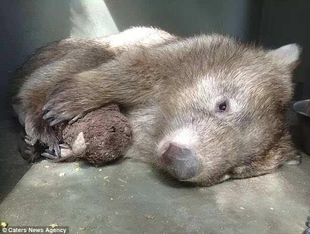 """""""很多动物在童年有阴影后,就会喜欢抱抱,tonka就是个长不大的孩子."""