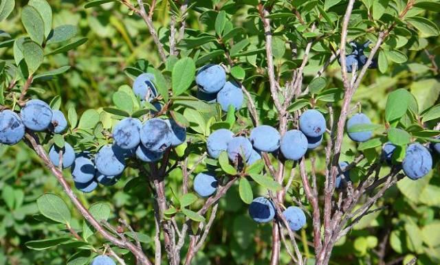 野生蓝莓:大兴安岭原始森林中的神奇宝藏图片