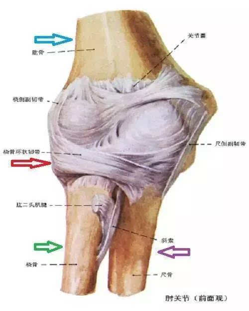 尺骨解剖结构
