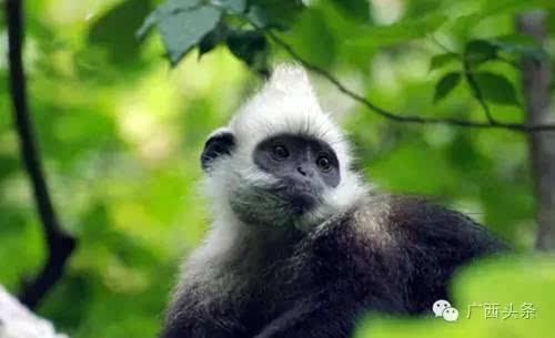 白头叶猴是国家一级保护动物和我国特有的珍贵