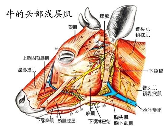 牛的生理结构与牛的生理解剖图