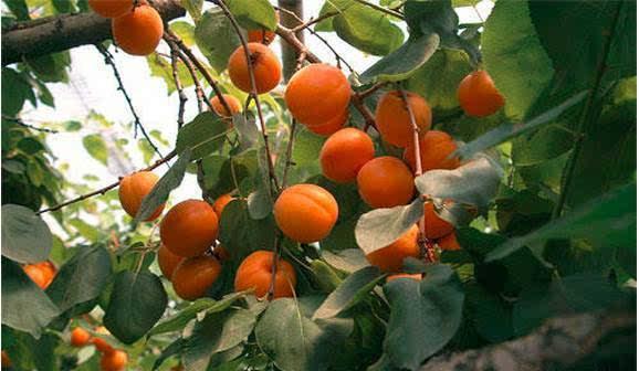记忆中家里院子里就有两颗杏树