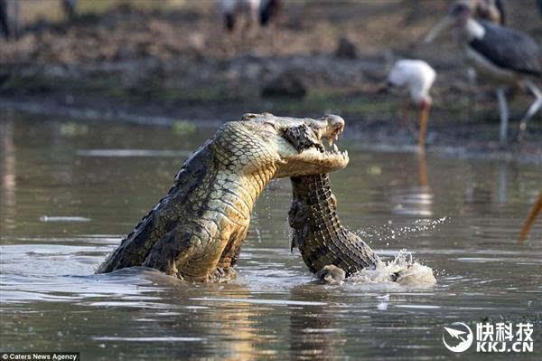 小鳄的尾巴被大鳄噙住,在空中被甩起,又重重砸向水面,小鳄甚至嘴