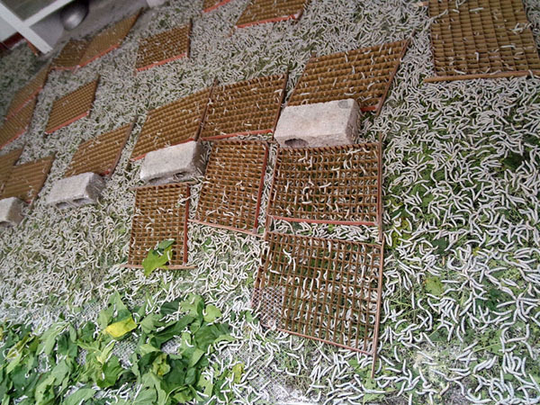 蚕农在蚕房劳作 收益小贴士:养殖一张蚕种(约25000头)可收获蚕茧80—图片