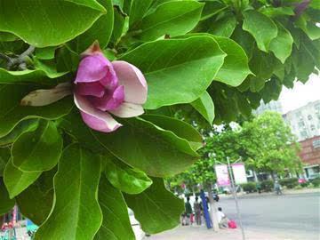 紫玉兰夏天开花图片