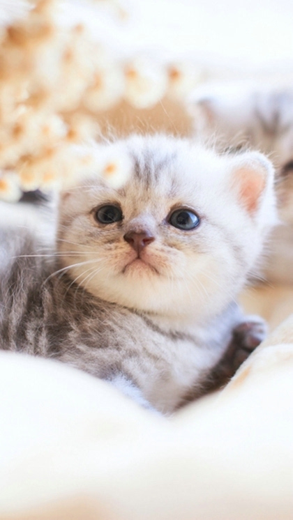 唯美呆萌可爱小猫咪手机桌面壁纸