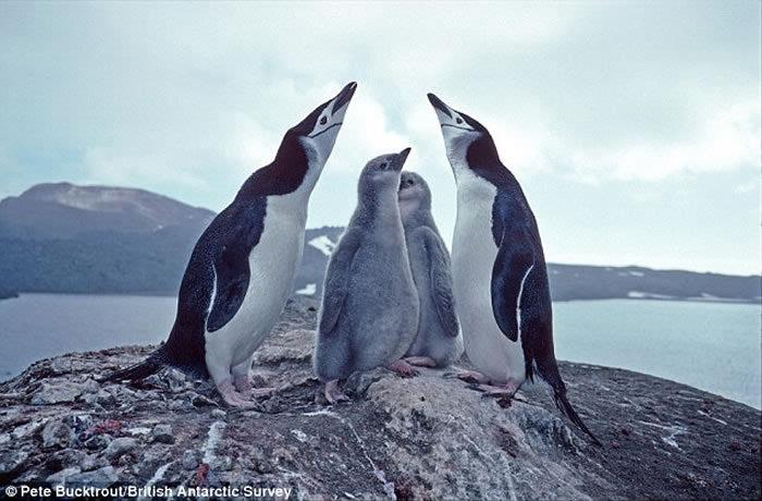 南极栖息地扎沃多夫斯基岛遭大量火山灰覆盖 超过100万只企鹅生存受到