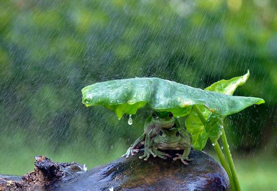 """印尼""""奇妙的动物摄影""""又来了,这次是青蛙躲雨"""