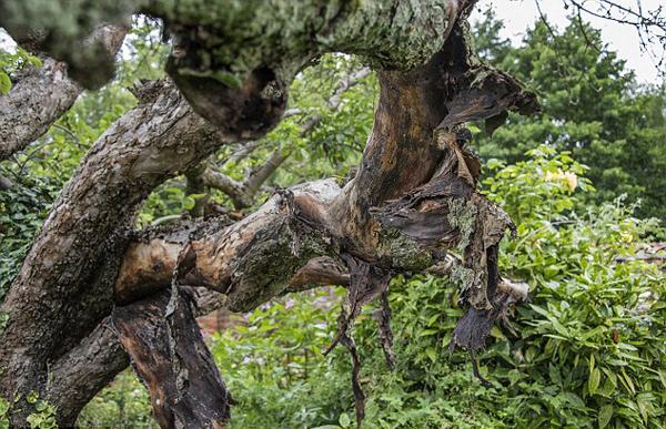 英200岁绿苹果树受真菌感染视 正逐渐枯萎
