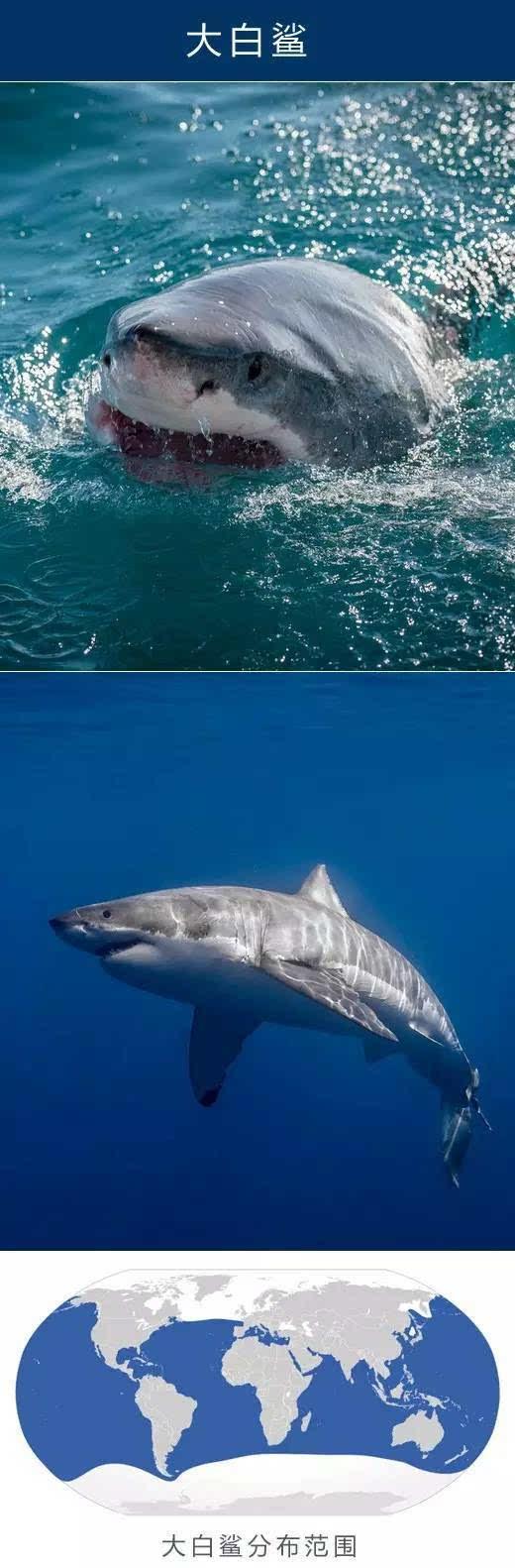 中文名:大白鲨 英文名:Great white shark 学名:Carcharodon carcharias 大白鲨体型庞大,是世上最大的掠食性鱼类。其身长可达6米,重量可达2,500千克。其为许多海洋哺乳类动物的主要天敌,另也会猎食海鸟和其他鱼类等一切能捕杀到的海洋生物。大白鲨袭击人类的次数同时也在所有鲨鱼中位列第一,故为声名狼藉的水中捕猎者。不少电影及小说也因此以大白鲨噬人作主题,但事实上人类并非其理想的猎物。 最长寿的动物