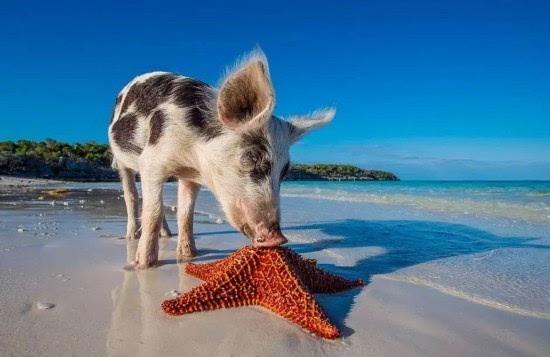 在2009年,这座属于猪的小岛被摄影师eric cheng和船长jim abernathy