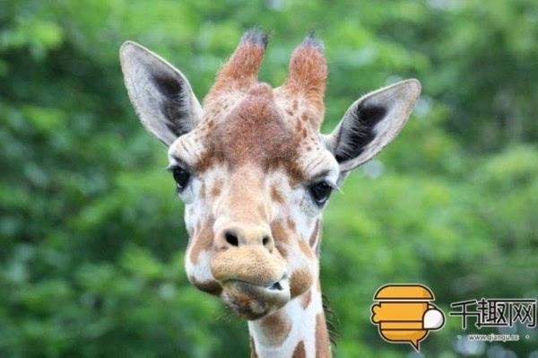 下雨了,长颈鹿看到年幼的斑马在淋雨,竟然