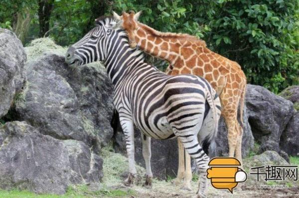 在这个动物园斑马经常和长颈鹿一起玩耍