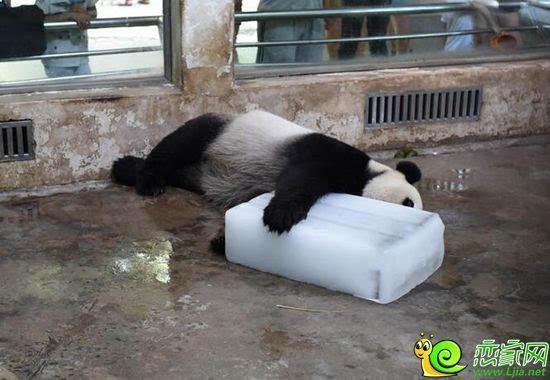 """7月25日湖北武汉气温高达38度,湖北武汉动物园的大熊猫""""伟伟""""可热坏了"""