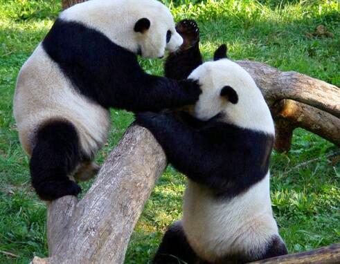 """北京动物园始建于1906年,在西直门外乐善园,继园和广善寺,惠安寺""""两"""