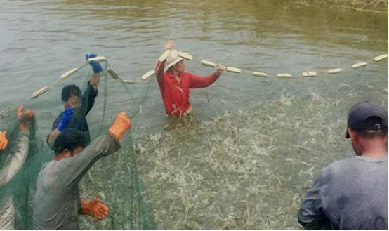 仅改变了一下养殖小米,模式养殖对虾翻倍,收虾利润魅族销量