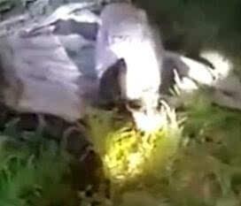 吓破胆!61斤巨蟒现身村庄 被抓时正吞食40斤山羊