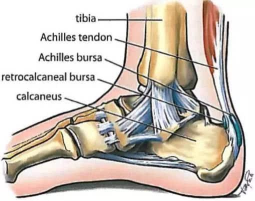 屈小腿与足跖屈,是小腿肌肉力量传导至足部的最主要的解剖结构.