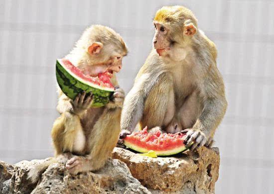 淮南动物园动物也纳凉 猴子吃西瓜河马吹空调