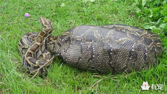 小王子给你画了只蟒蛇