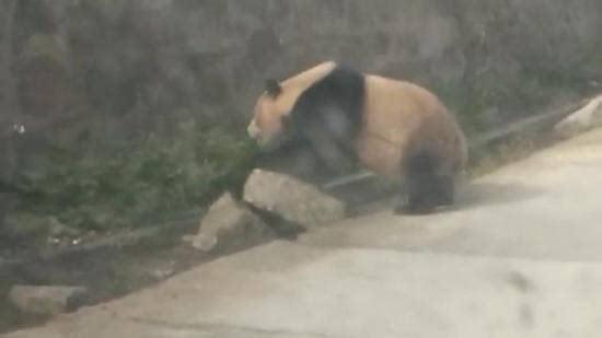 国道发现野生熊猫 憨态十足压马路