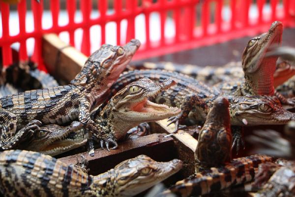 广西边防查获国家一级保护动物暹罗鳄鱼苗399条