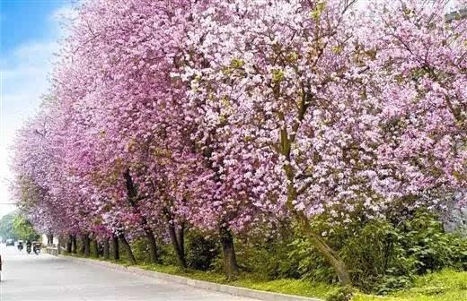 柳州紫荆花-广西最美市花大比拼 原来,广西14个市的人竟然最爱这种花