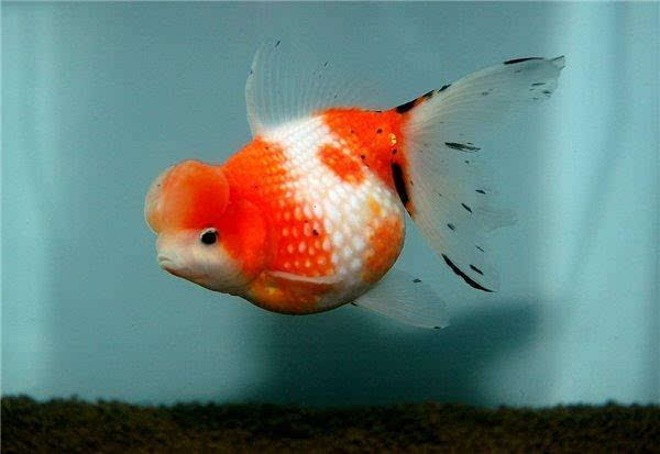 这个国家规定只养一条金鱼违法 子非鱼焉知鱼之乐