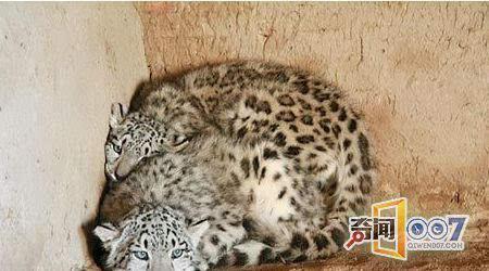 后经专家认定是国家一级保护动物——雪豹.