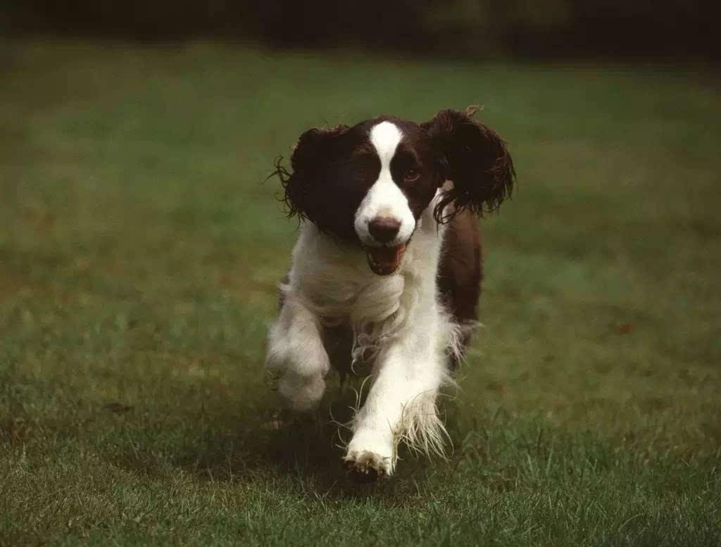 史宾格犬幼犬