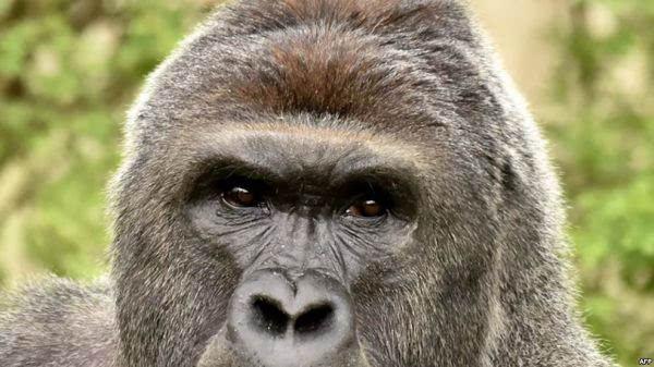 美国辛辛那提动物园的大猩猩哈兰贝.(资料照片)(法新社)