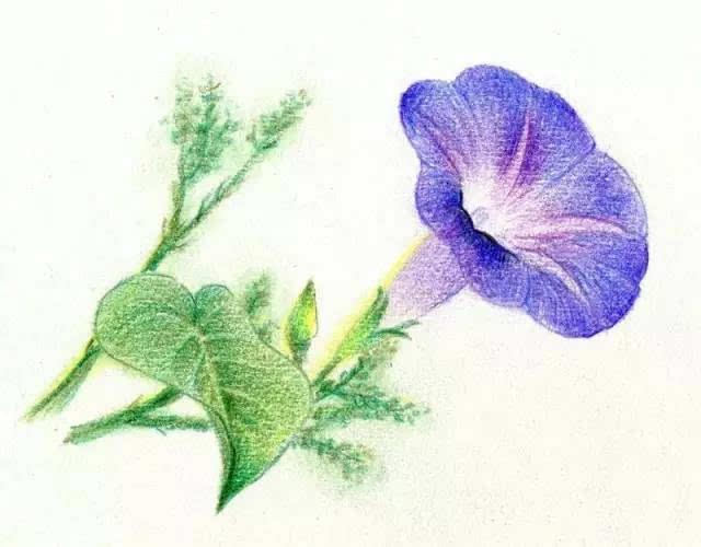 彩铅玫瑰花步骤图解