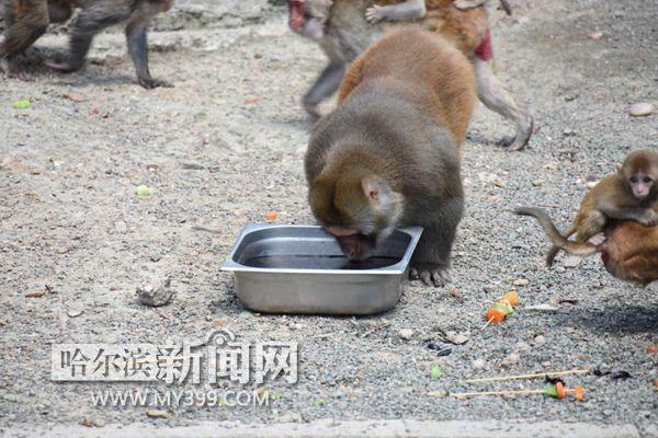 动物营养师也为它们准备了大串,36度的天儿,水果大串和冰镇饮料更配哦