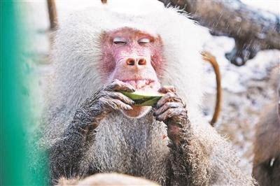 据统计,整个野生动物园夏季每天供应约600斤西瓜,狒狒,猩猩等灵长类