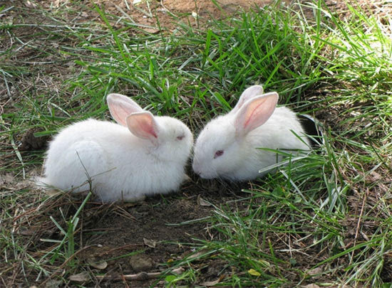 壁纸 动物 兔子 550_405