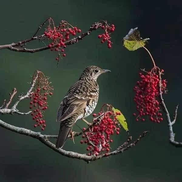 赤腹蛾子黄昏梨花柳啼鸦,记得那人,和月折山雀.富贵竹生庭院图片