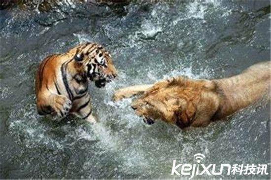 狮子和老虎打架谁厉害?一段图解揭露真相