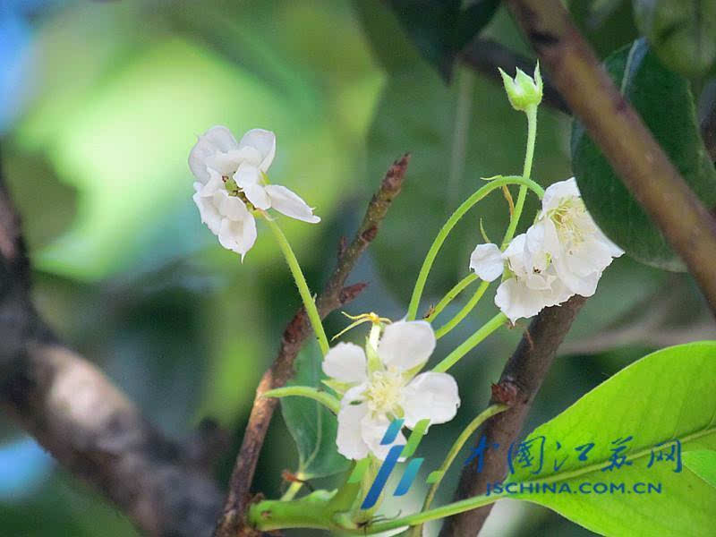 罕见!南京街头梨树挂满梨 八月就开花