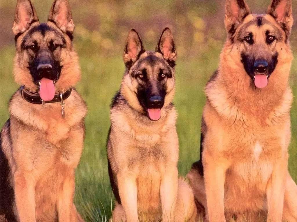 土佐犬和高加索犬谁厉害