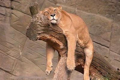 这种动物睡觉时呈大头朝下的姿势,只在夜间活动.