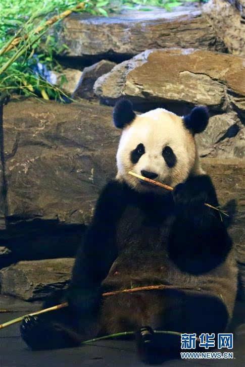 比利时出生的大熊猫宝宝亮相动物园(高清)