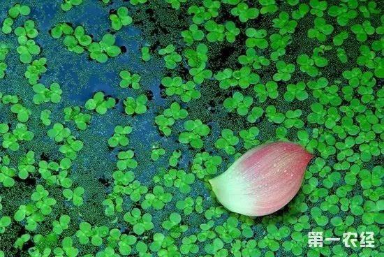 养小龙虾种什么水草 小龙虾养殖池塘的水草种植
