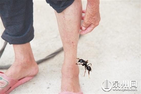 红火蚁出没 村民被咬不敢下田 村民被红火蚁咬伤 早报讯(记者 许奕梅