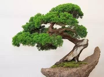 盆景 盆栽 树 松 松树 植物 359_265