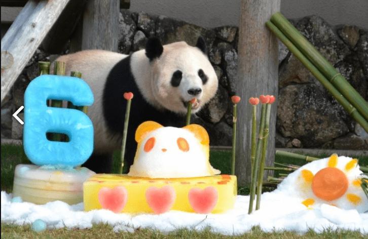 日本动物园用冰块蛋糕为6岁大熊猫庆生