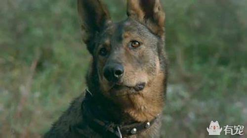 军犬哭囹�a��(�-c_《犬王》:这部回顾抗日的电影,却真实炸死了一条军犬