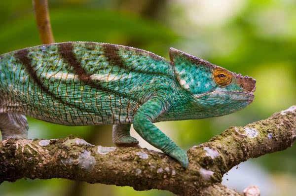 动物特辑   马岛獴