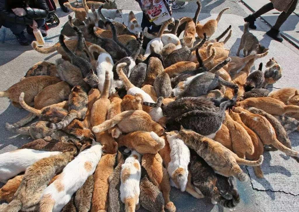 开饭时间一到,这样拥挤的场面随处可见。 13年有一位摄影师跑到青岛上去拍猫咪的生态,并将之传到了自己的博客上后,爱媛县的青岛瞬间爆红。喜欢猫咪的客人纷纷上岛去参观、喂猫。然而这个岛并不是走观光路线的,所以岛上没有住宿、没有饭馆、更没有商店,一切都需要游客自备,船的场次也非常少。不过这也完全阻挡不了猫奴前来朝圣。