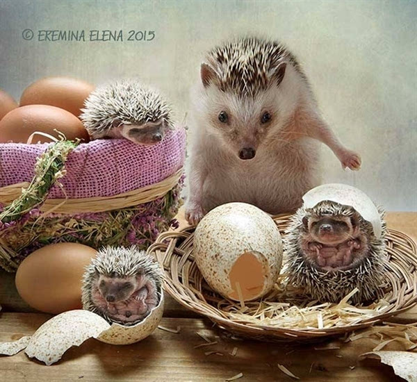 活的不如动物系列:呆萌小刺猬的幸福生活elenaere