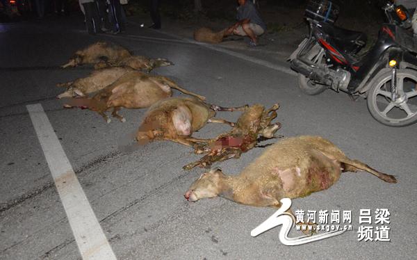 山西吕梁汾阳罗城村-汾阳 羊群过街被大货车碰撞 20只羊死亡 图图片